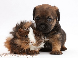 Border Terrier puppy, 5 weeks old, and Guinea pig
