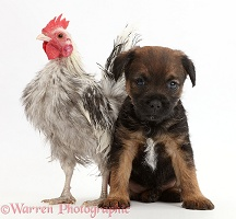 Border Terrier puppy, 5 weeks old, and silkie chicken