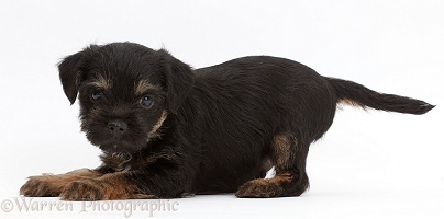 Border Terrier puppy, 5 weeks old, in play-bow