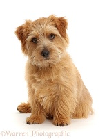 Norfolk Terrier dog