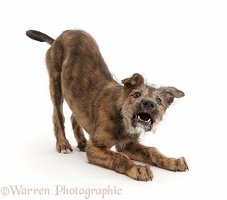 Brindle Lurcher dog in play-bow