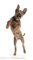 Brindle Lurcher dog puppy jumping up
