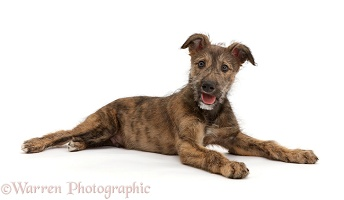 Brindle Lurcher dog puppy lying