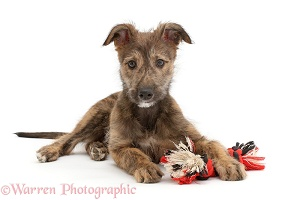 Brindle Lurcher dog puppy lying head up with ragger toy