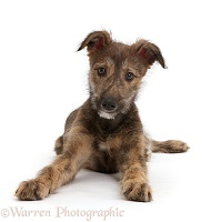 Brindle Lurcher dog puppy lying head up