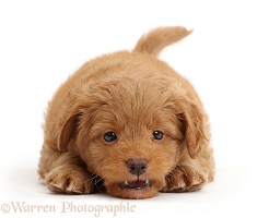 Playful F1b Toy Goldendoodle puppy