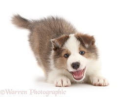 Sable-and-white Border Collie puppy in play-bow