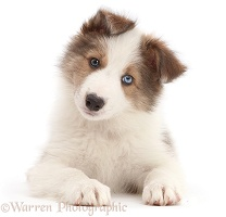 Sable-and-white Border Collie puppy