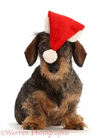 Wire haired Dachshund Wearing a Santa Hat