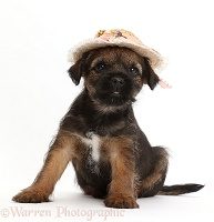 Border Terrier puppy, 8 weeks old, wearing straw hat