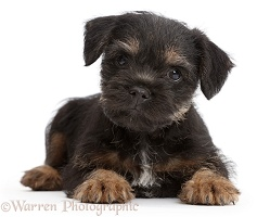 Border Terrier puppy, 8 weeks old