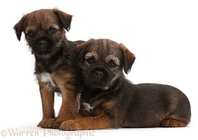 Border Terrier puppies, 8 weeks old