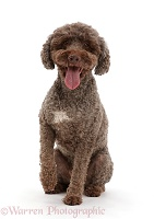 Lagotto Romagnolo dog sitting