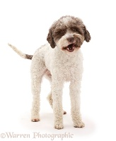 Lagotto Romagnolo dog standing