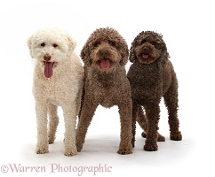 Two Lagotto Romagnolos and a Poodle