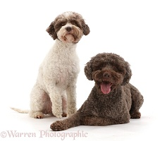 Two Lagotto Romagnolos