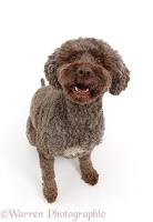 Lagotto Romagnolo dog sitting and barking