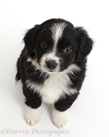 Black-and white Mini American Shepherd puppy looking up