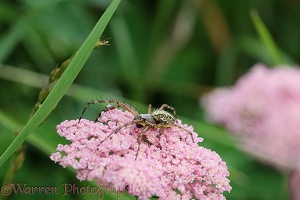 Spider on Yarrow