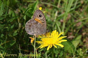 Large Wall Brown butterfly (Lasiommata maera)