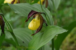 Lady's slipper orchid (Cypripedium calceolus)