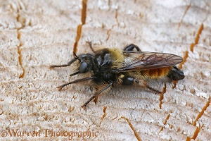 Robber fly (Laphria flava)