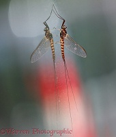 Mayfly with reflection
