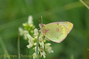 Pale Clouded Yellow butterfly (Colias hyale)