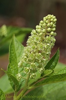 Indian Pokeweed flower (Phytolacca acinosa)