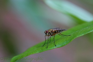 Tachinid fly 1