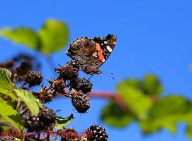 Red Admiral on blackberries