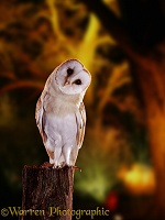 Barn owl and floodlit trees