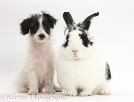 Cute Jack-a-poo dog puppy and rabbit
