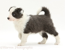 Blue-and-white Border Collie pup, walking