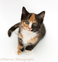 Tortoiseshell kitten, sitting and looking up