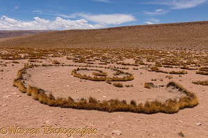 High Altiplano with tussock grass or Paja Brava