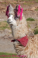 Llama with traditional brightly coloured woollen ear tags