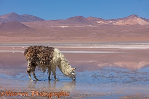 Llama drinking from Lago Colorado, Bolivia