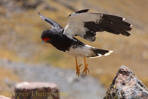 Mountain Caracara taking off