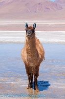 Llama standing in mud at the edge of Laguna Colorada, Bolivia