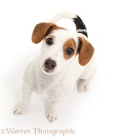 Jack Russell Terrier puppy sitting and looking up