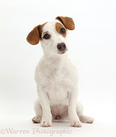 Jack Russell Terrier puppy sitting and looking quizzically