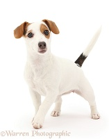 Jack Russell Terrier puppy walking