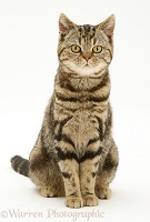 Brown tabby cat sitting