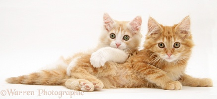 Ginger Maine Coon kittens lying together