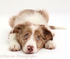 Red merle Border Collie pup lying with chin on floor looking up