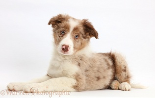 Red merle Border Collie puppy