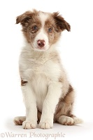 Red merle Border Collie puppy sitting