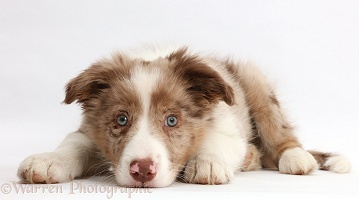 Red merle Border Collie puppy lying with chin on the floor
