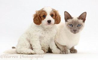 Cavapoo puppy and blue-point cat